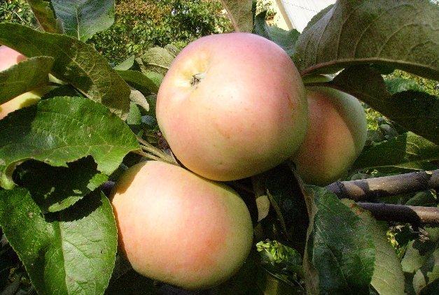 Фото яблока ренет курский золотой
