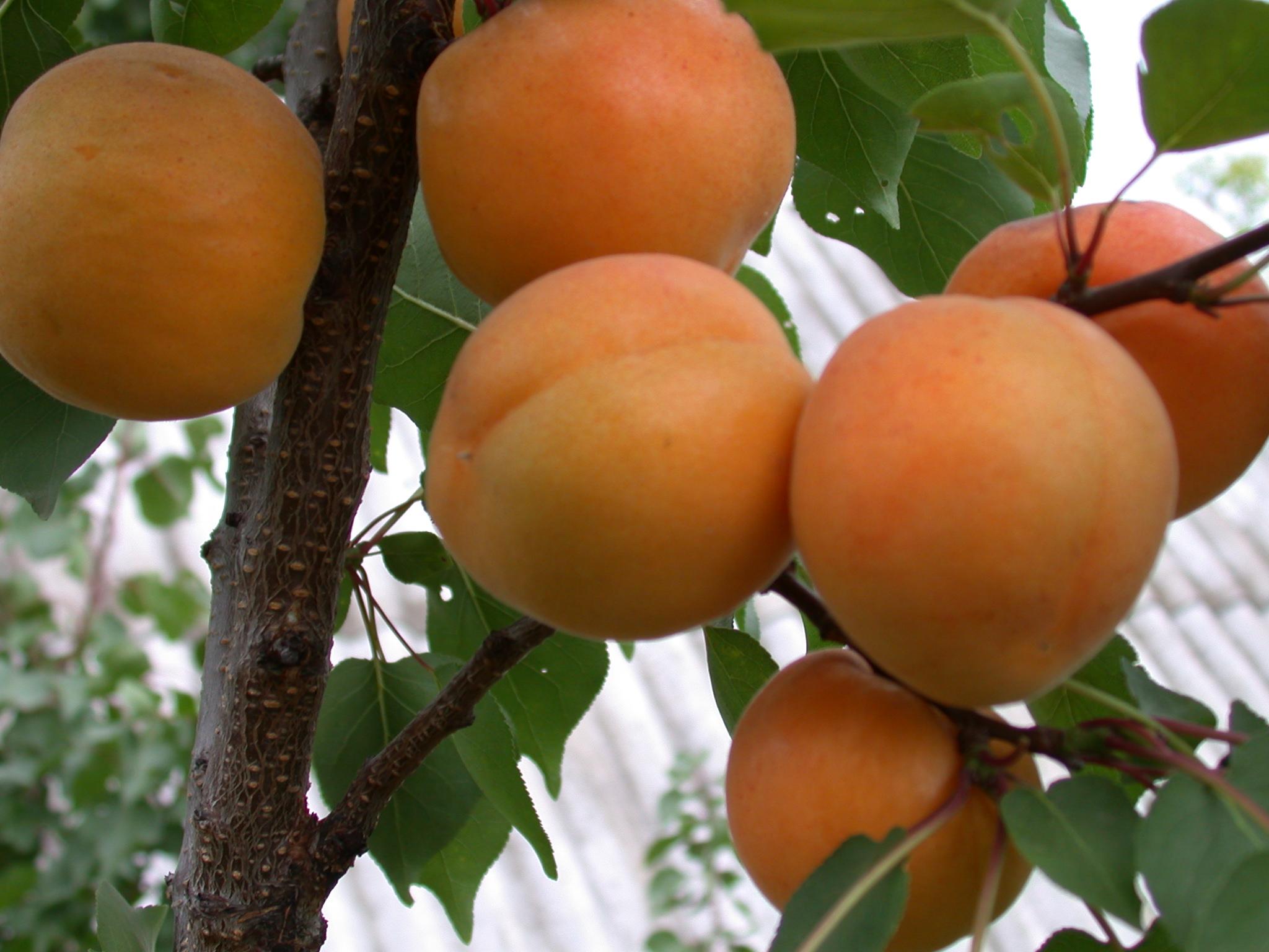 Как выбрать саженцы абрикоса