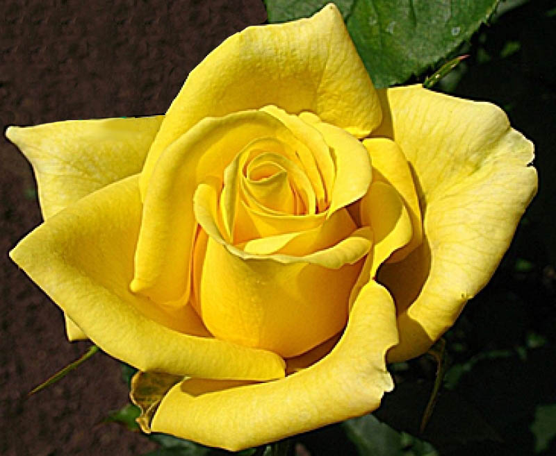 профессиональный фотограф, роза сорт ландора фото и описание мне