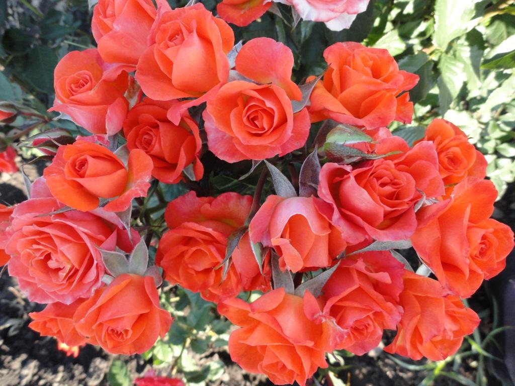 фото роза алегрия