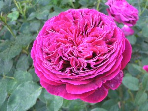 роза спреи фото
